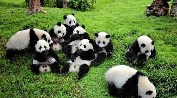 大熊猫将入住莫斯科动物园